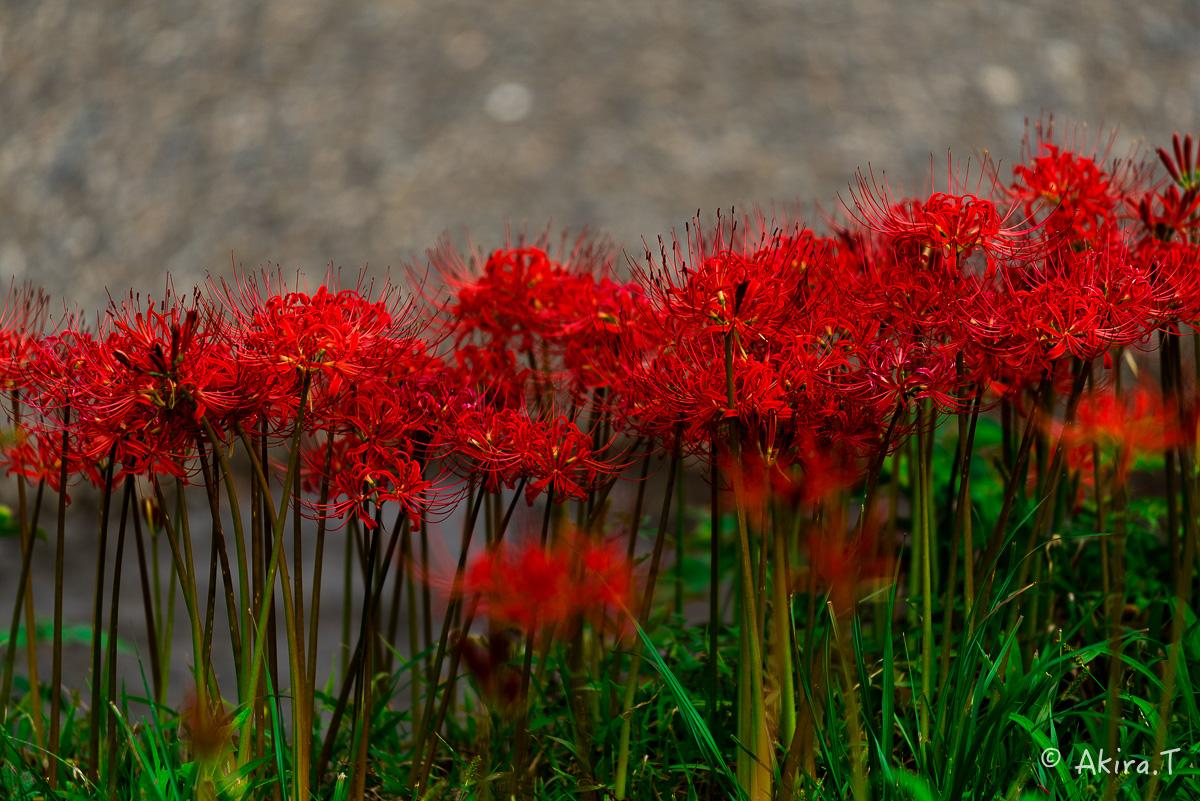 京都 大原の里の彼岸花 -1-_f0152550_192789.jpg