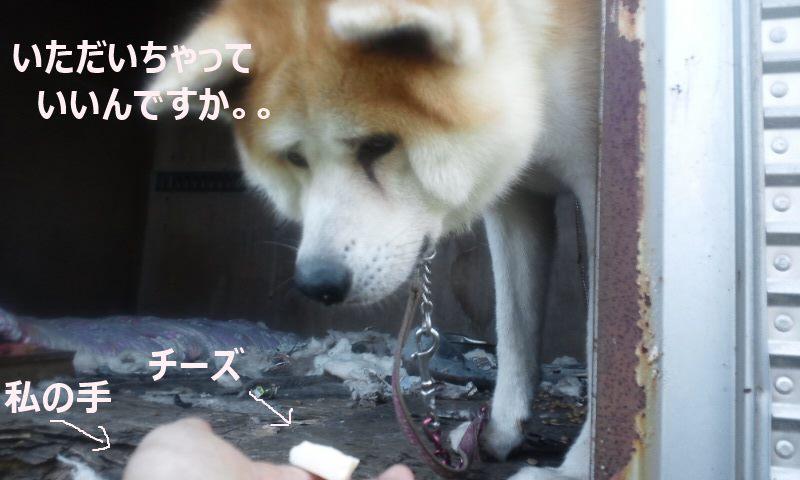 【移動先募集】現場に遺棄された秋田犬・雑種犬・子猫たち_f0242002_237825.jpg