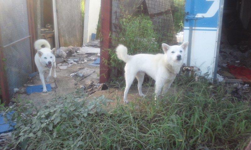 【移動先募集】現場に遺棄された秋田犬・雑種犬・子猫たち_f0242002_3142085.jpg