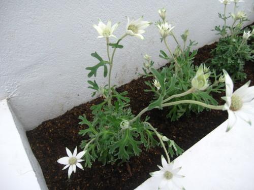 花壇のころもがえ_e0350927_11593673.jpg