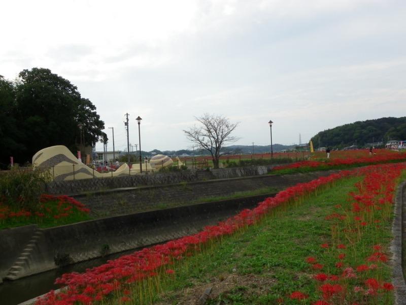 愛知県半田市岩滑の彼岸花_d0254540_18272687.jpg