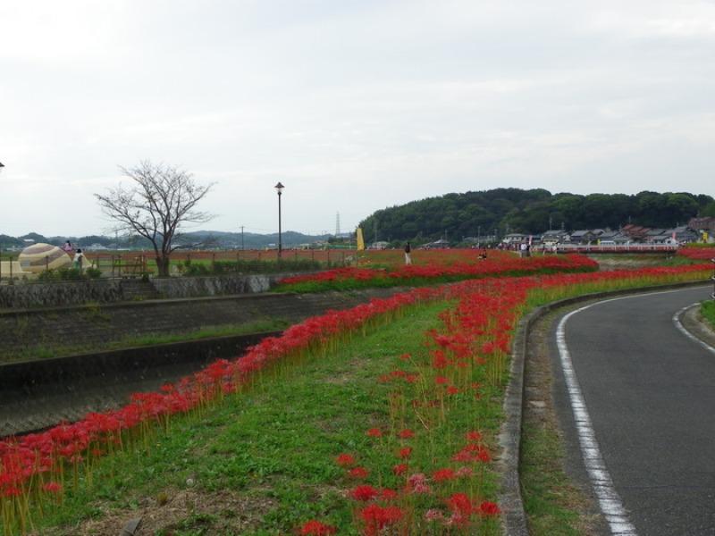 愛知県半田市岩滑の彼岸花_d0254540_18274027.jpg