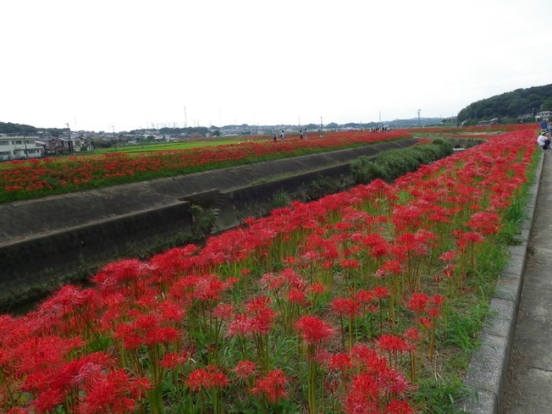 愛知県半田市岩滑の彼岸花_d0254540_182814100.jpg