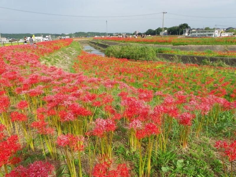 愛知県半田市岩滑の彼岸花_d0254540_18285420.jpg