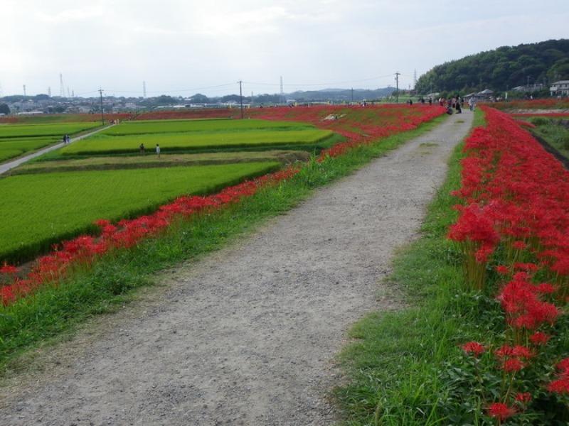 愛知県半田市岩滑の彼岸花_d0254540_1829122.jpg