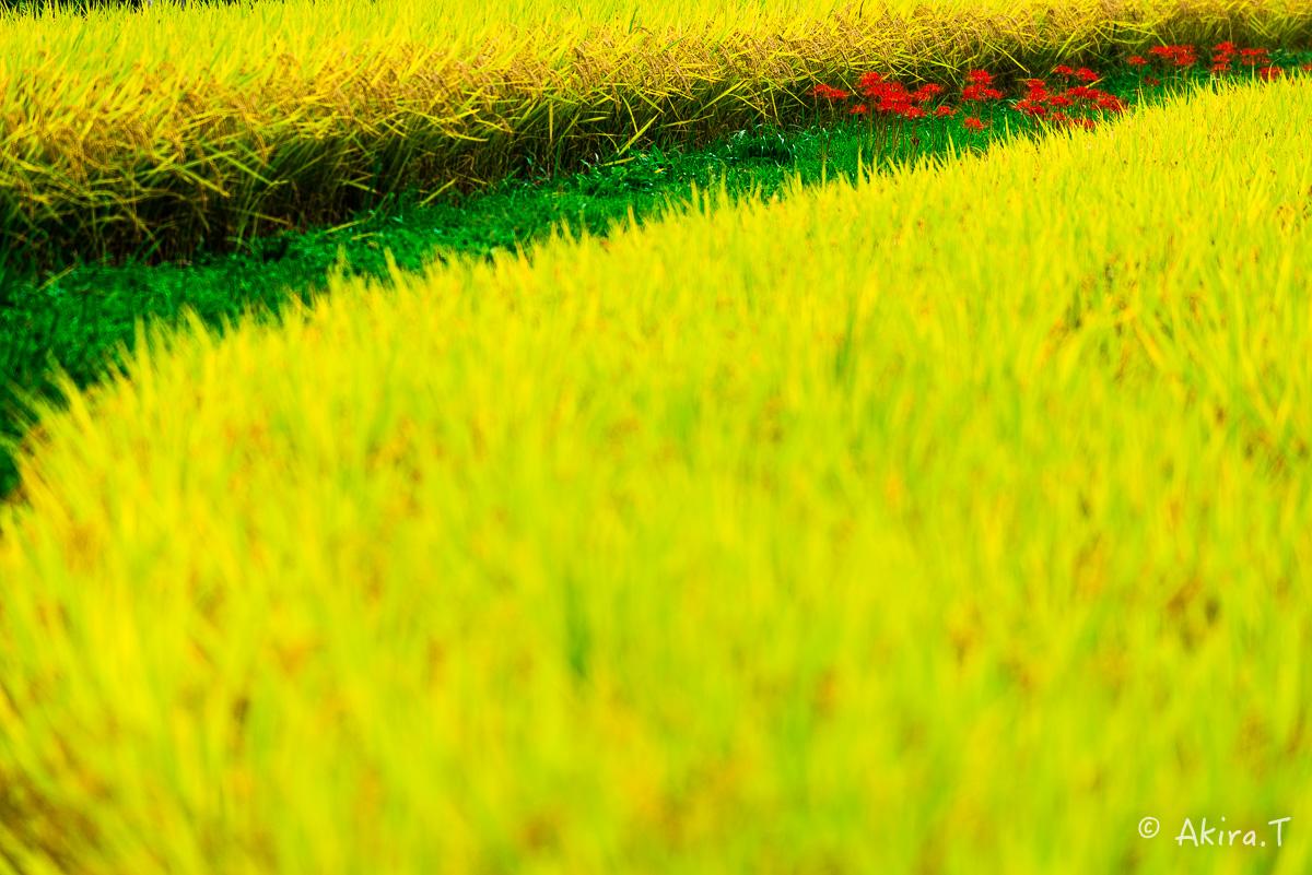 京都 大原の里の彼岸花 -2-_f0152550_22581113.jpg
