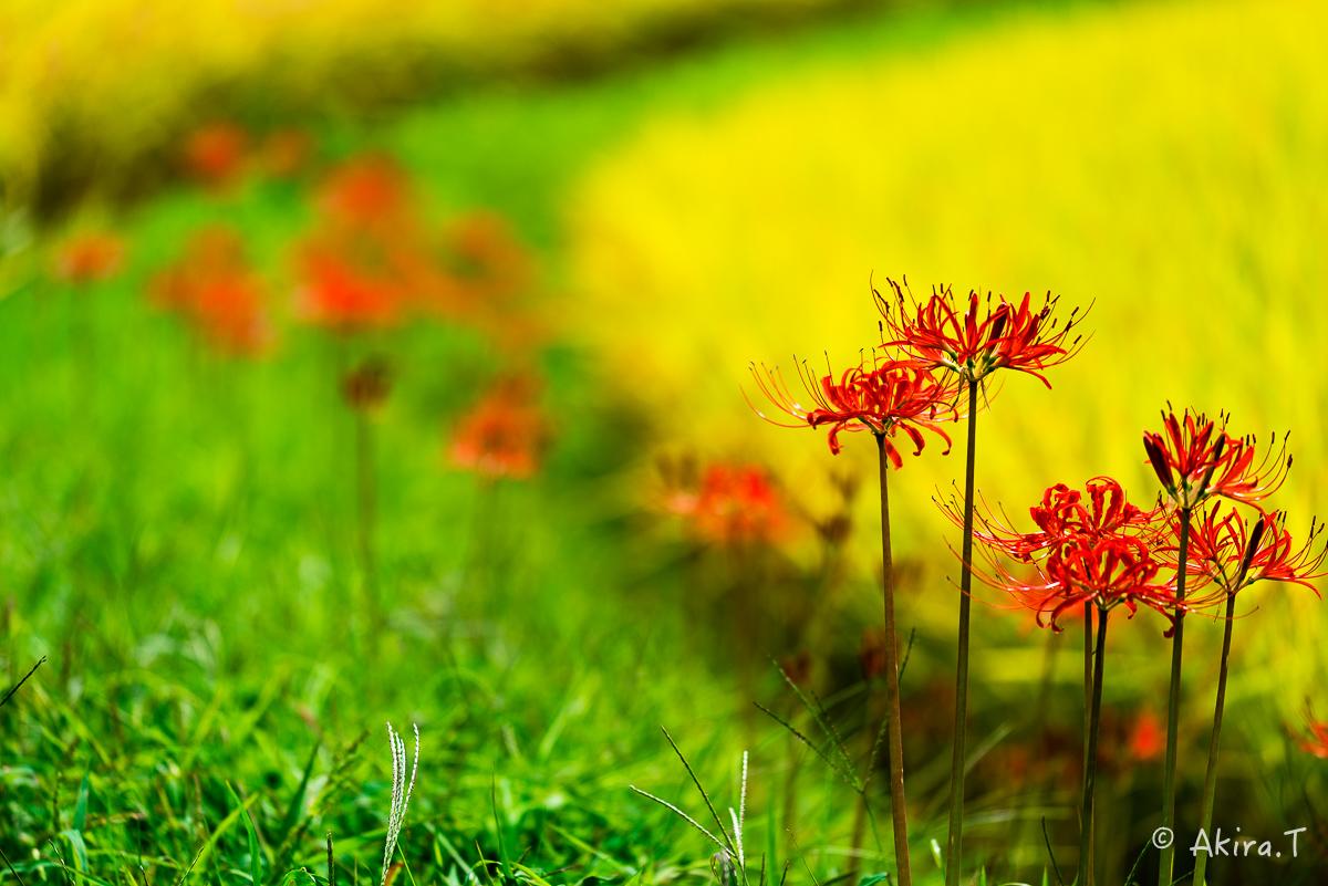 京都 大原の里の彼岸花 -2-_f0152550_22582621.jpg