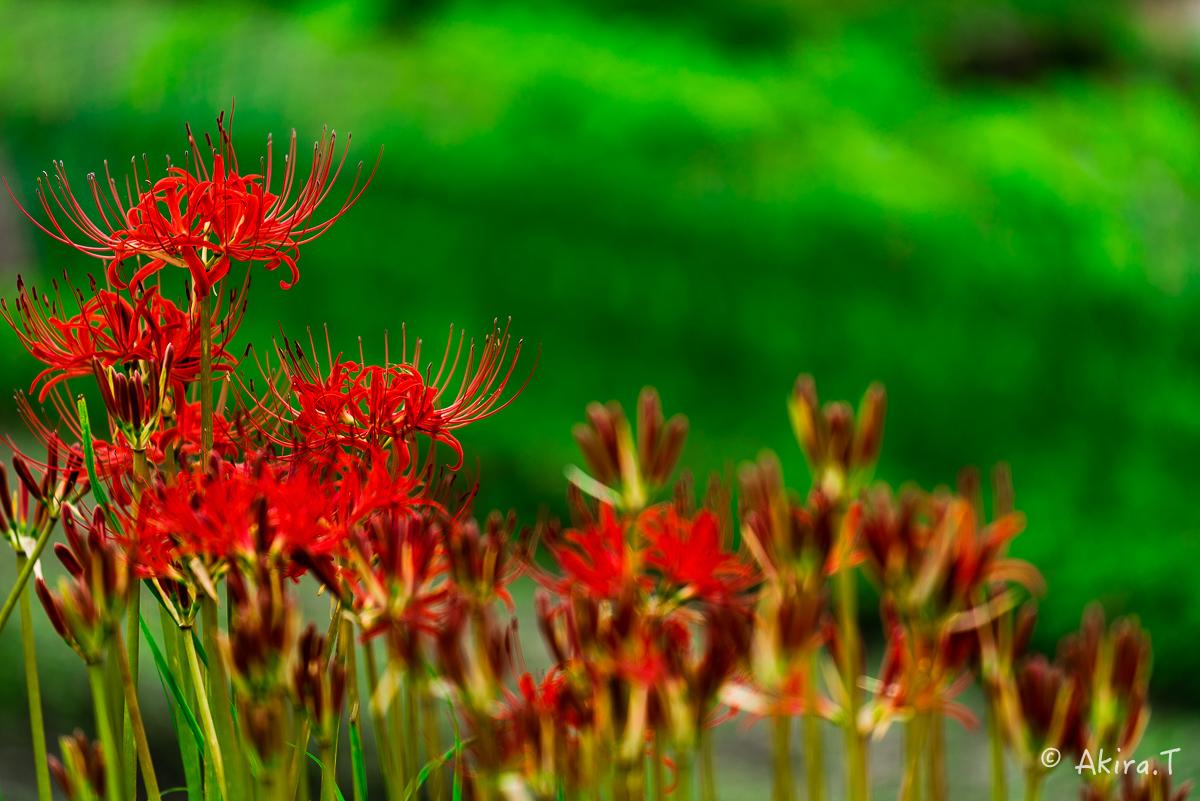 京都 大原の里の彼岸花 -2-_f0152550_22584226.jpg