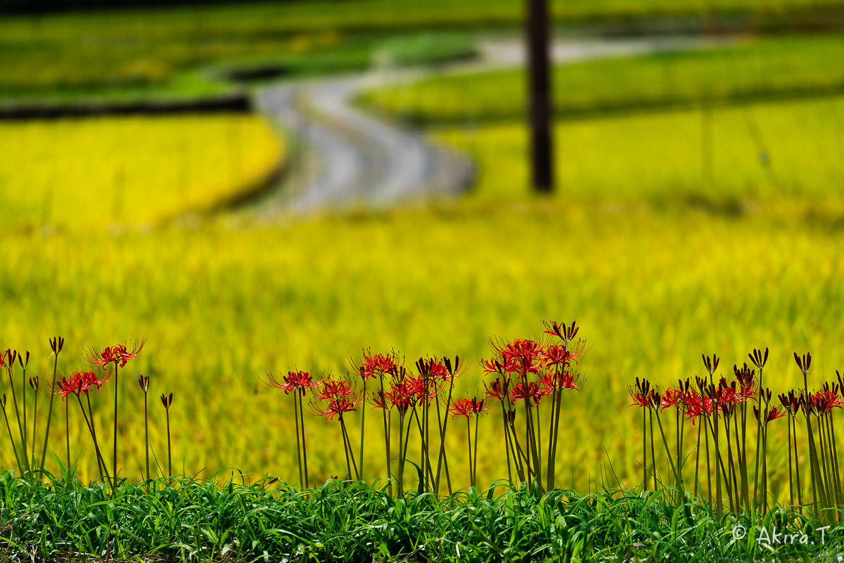 京都 大原の里の彼岸花 -2-_f0152550_22592943.jpg
