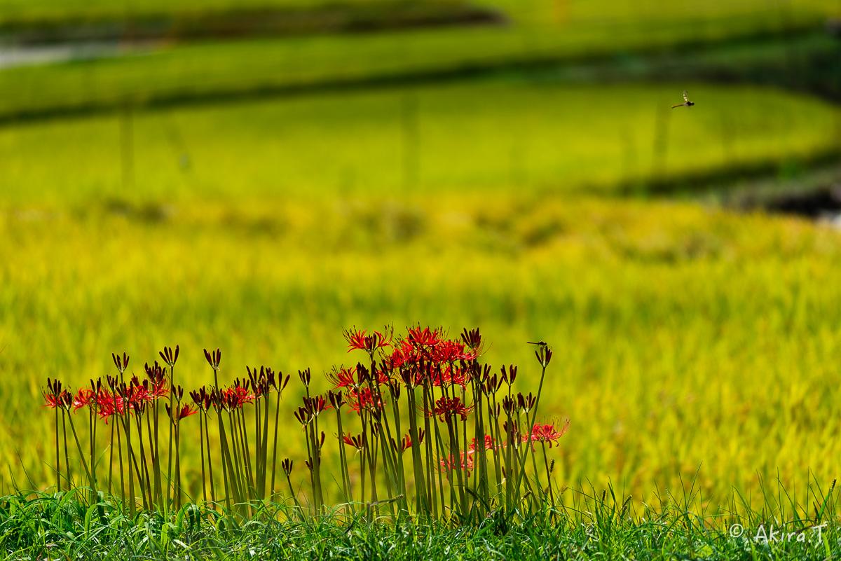 京都 大原の里の彼岸花 -2-_f0152550_22594618.jpg