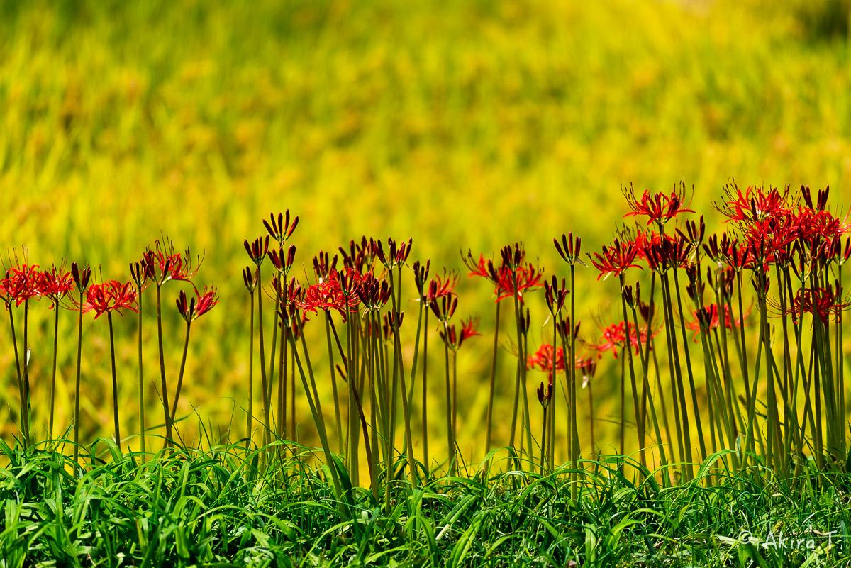 京都 大原の里の彼岸花 -2-_f0152550_230357.jpg