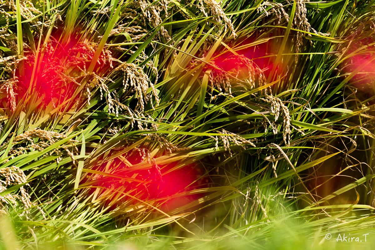 京都 大原の里の彼岸花 -2-_f0152550_2303932.jpg
