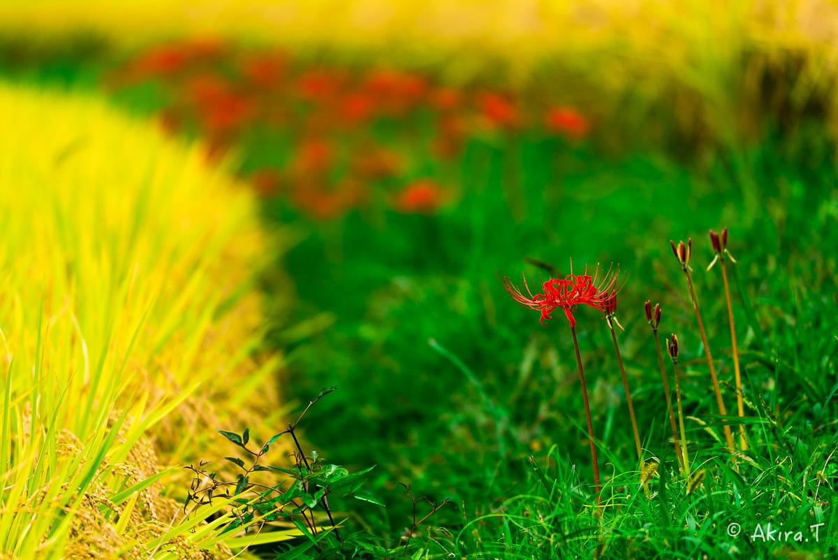 京都 大原の里の彼岸花 -2-_f0152550_2312755.jpg