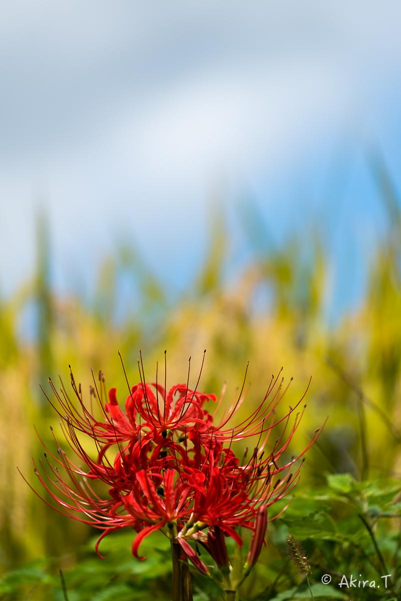 京都 大原の里の彼岸花 -2-_f0152550_2314392.jpg