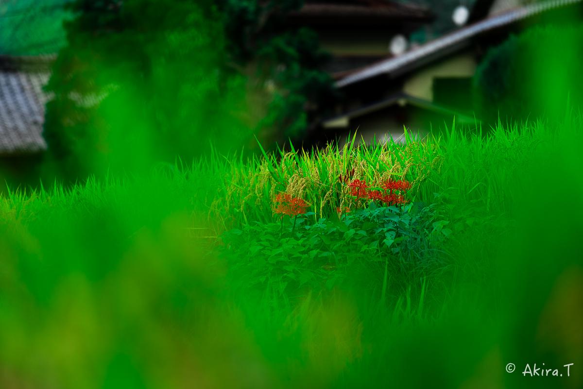 京都 大原の里の彼岸花 -2-_f0152550_232010.jpg