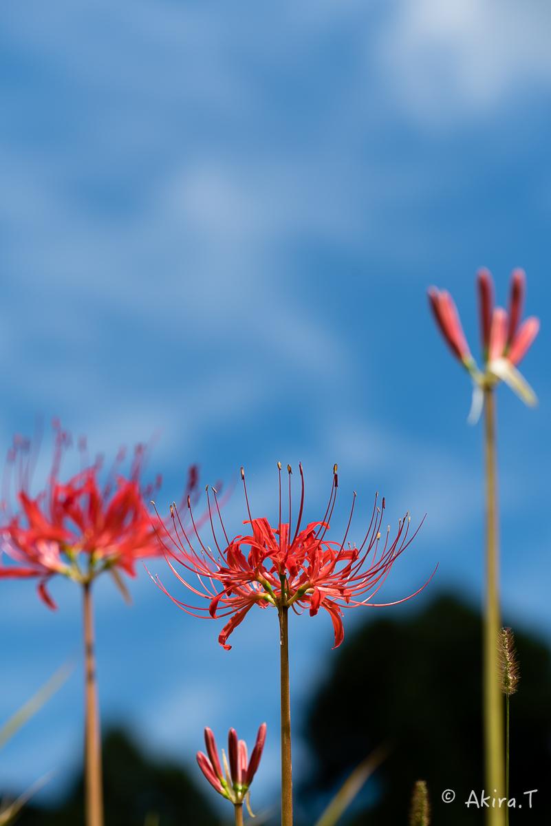 京都 大原の里の彼岸花 -2-_f0152550_2323045.jpg