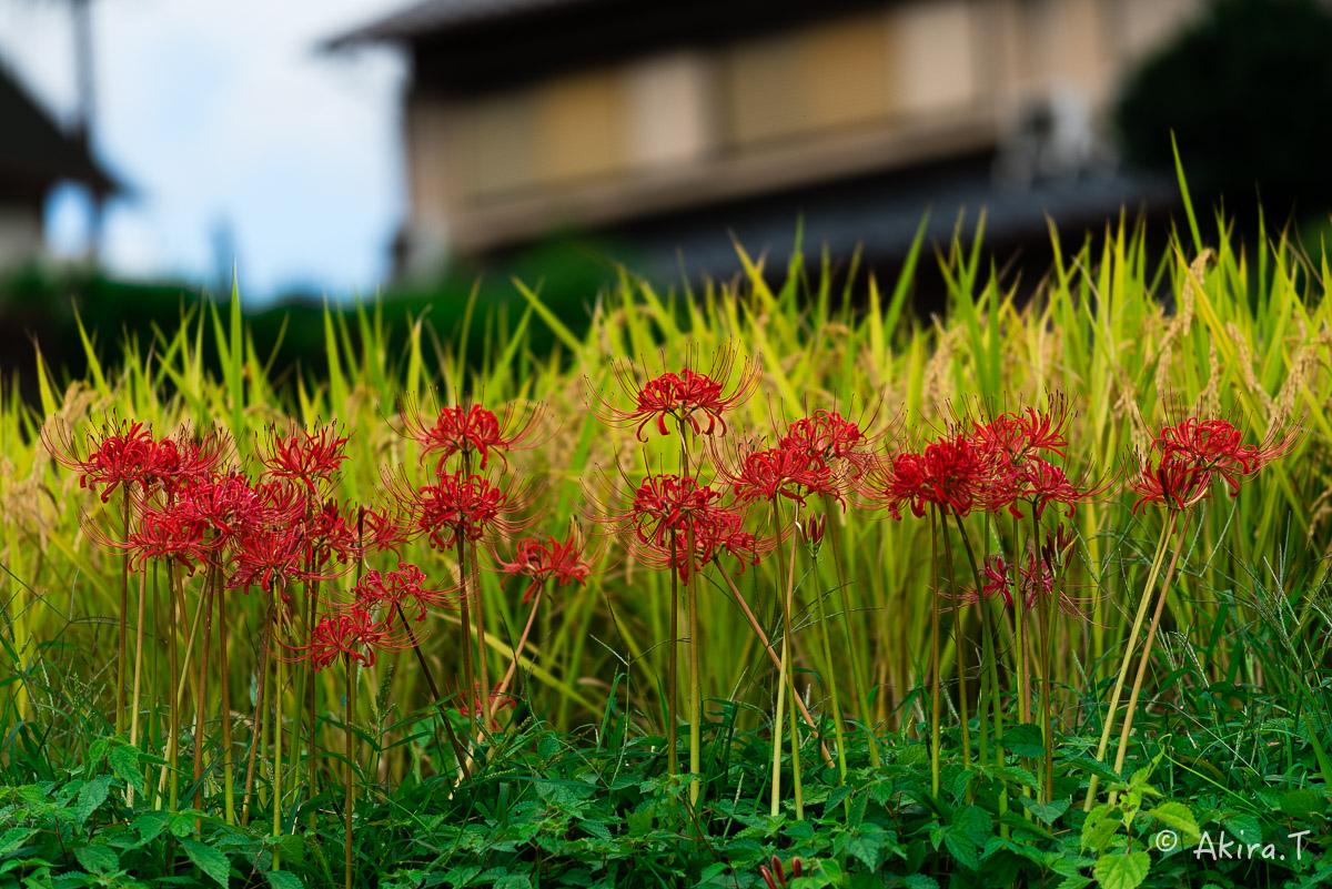 京都 大原の里の彼岸花 -2-_f0152550_2331582.jpg