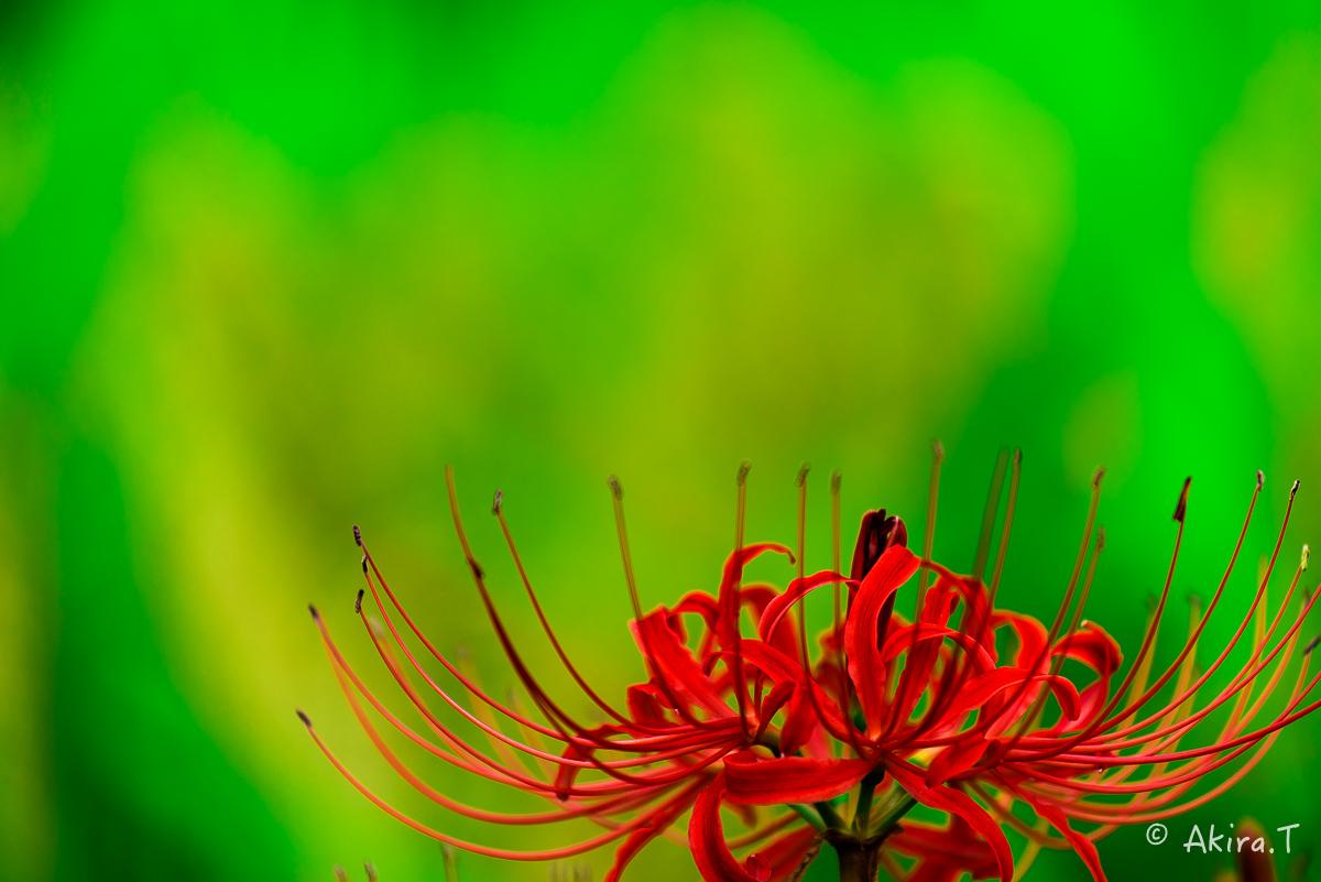 京都 大原の里の彼岸花 -2-_f0152550_233316.jpg