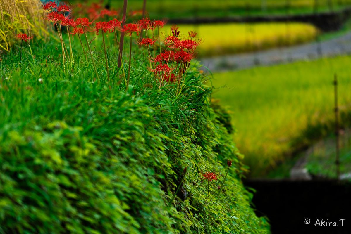 京都 大原の里の彼岸花 -2-_f0152550_23345100.jpg