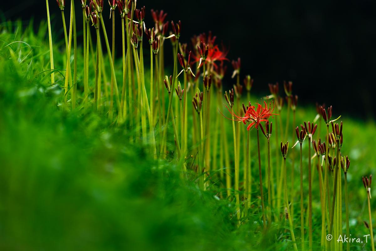京都 大原の里の彼岸花 -2-_f0152550_2335928.jpg