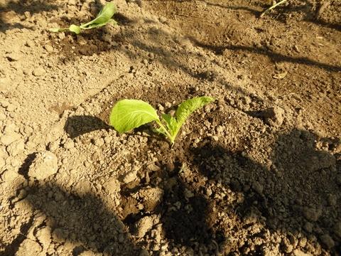 白菜は育つか_e0087201_19532742.jpg
