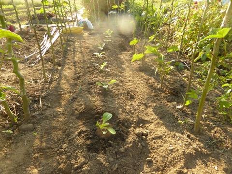 白菜は育つか_e0087201_19542999.jpg