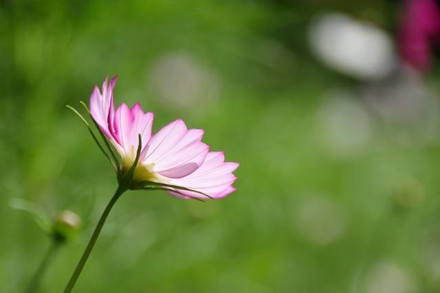 【くりはま花の国】-コスモス-_f0348831_19103465.jpg
