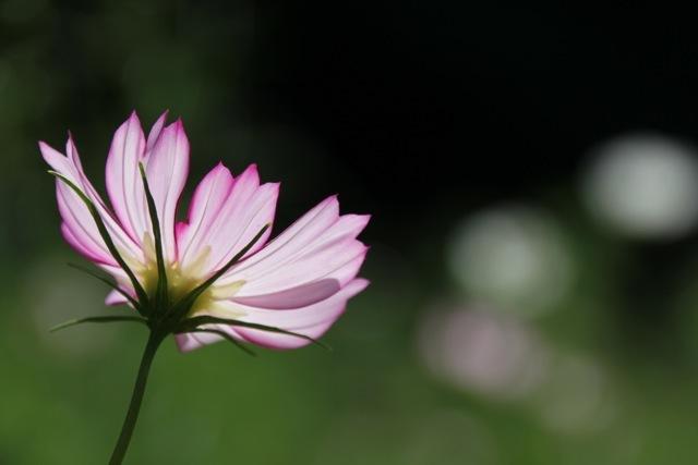 【くりはま花の国】-コスモス-_f0348831_19104055.jpg
