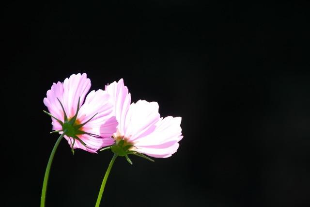 【くりはま花の国】-コスモス-_f0348831_19104406.jpg