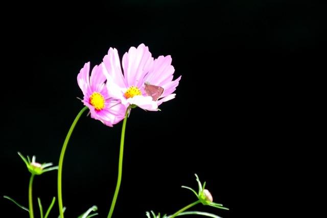 【くりはま花の国】-コスモス-_f0348831_19104870.jpg