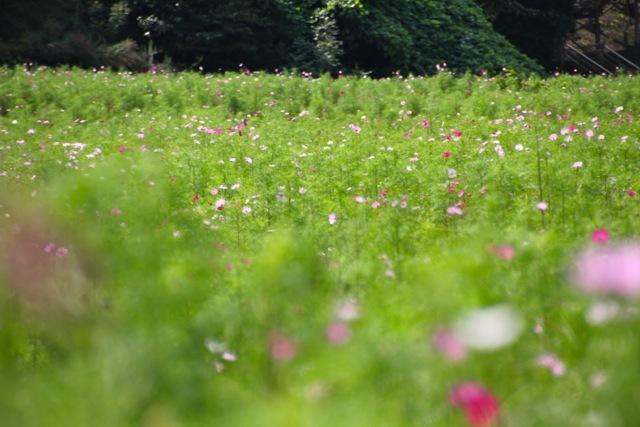 【くりはま花の国】-コスモス-_f0348831_19105409.jpg