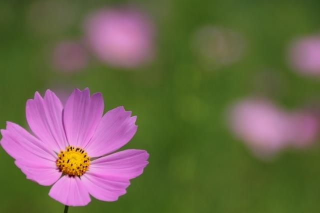【くりはま花の国】-コスモス-_f0348831_19110462.jpg