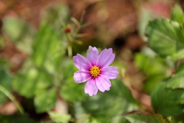【くりはま花の国】-コスモス-_f0348831_19205256.jpg