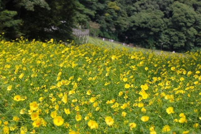 【くりはま花の国】-コスモス-_f0348831_19214462.jpg