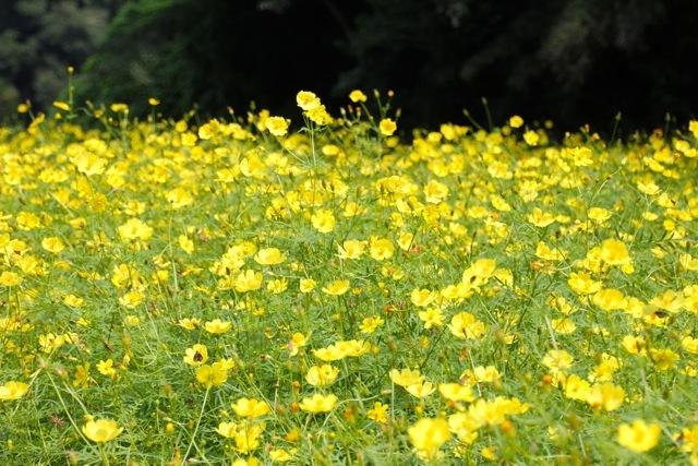 【くりはま花の国】-コスモス-_f0348831_19215052.jpg