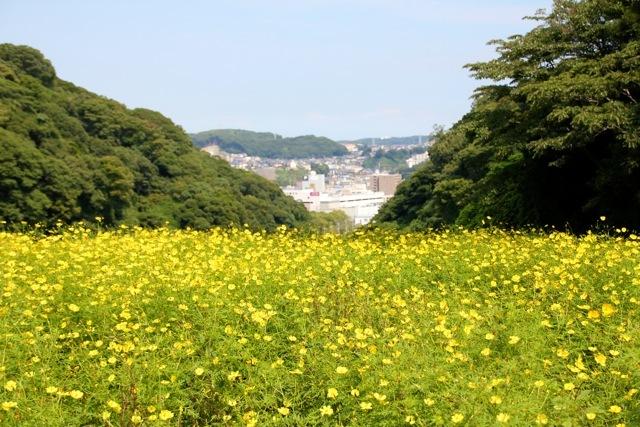 【くりはま花の国】-コスモス-_f0348831_19215983.jpg