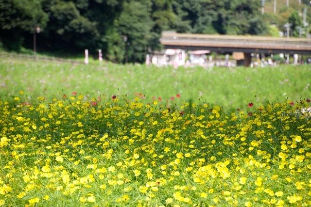 【くりはま花の国】-コスモス-_f0348831_19220386.jpg