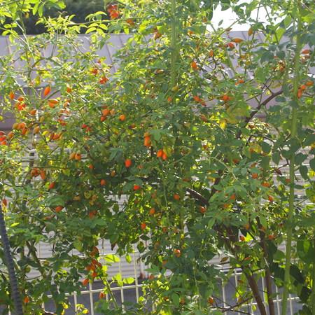 ローズヒップもオレンジ色に_a0292194_2154553.jpg