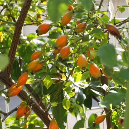 ローズヒップもオレンジ色に_a0292194_215698.jpg