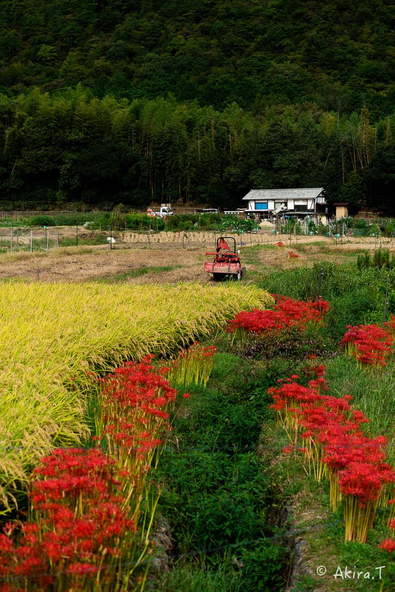 京都 嵯峨野の彼岸花 -1-_f0152550_20504574.jpg
