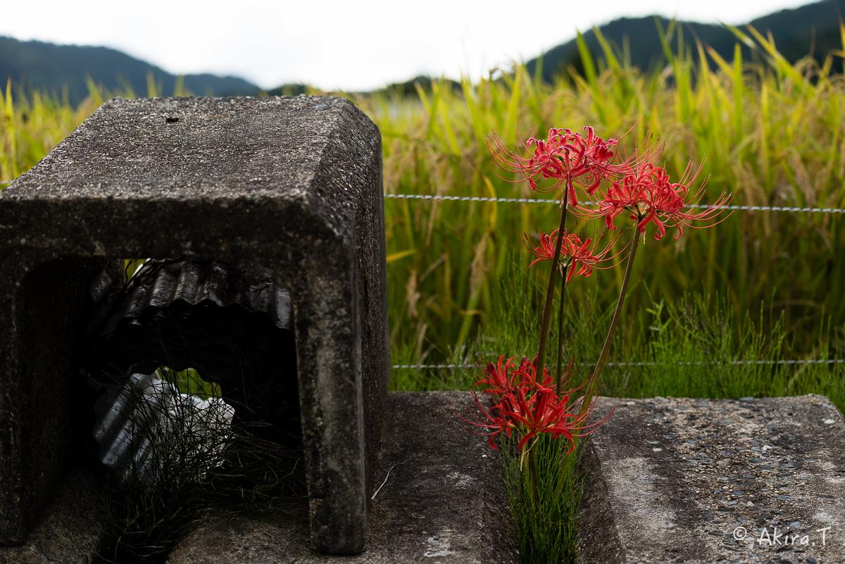 京都 嵯峨野の彼岸花 -1-_f0152550_2052761.jpg