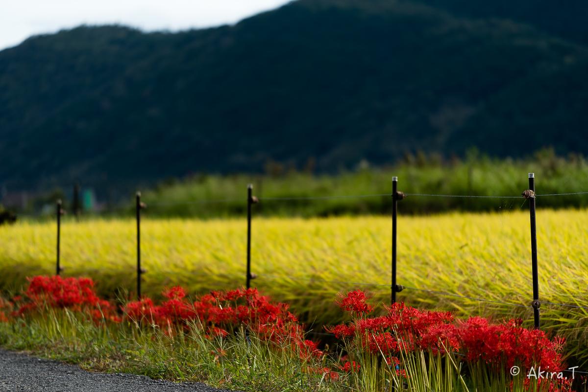 京都 嵯峨野の彼岸花 -1-_f0152550_20534039.jpg