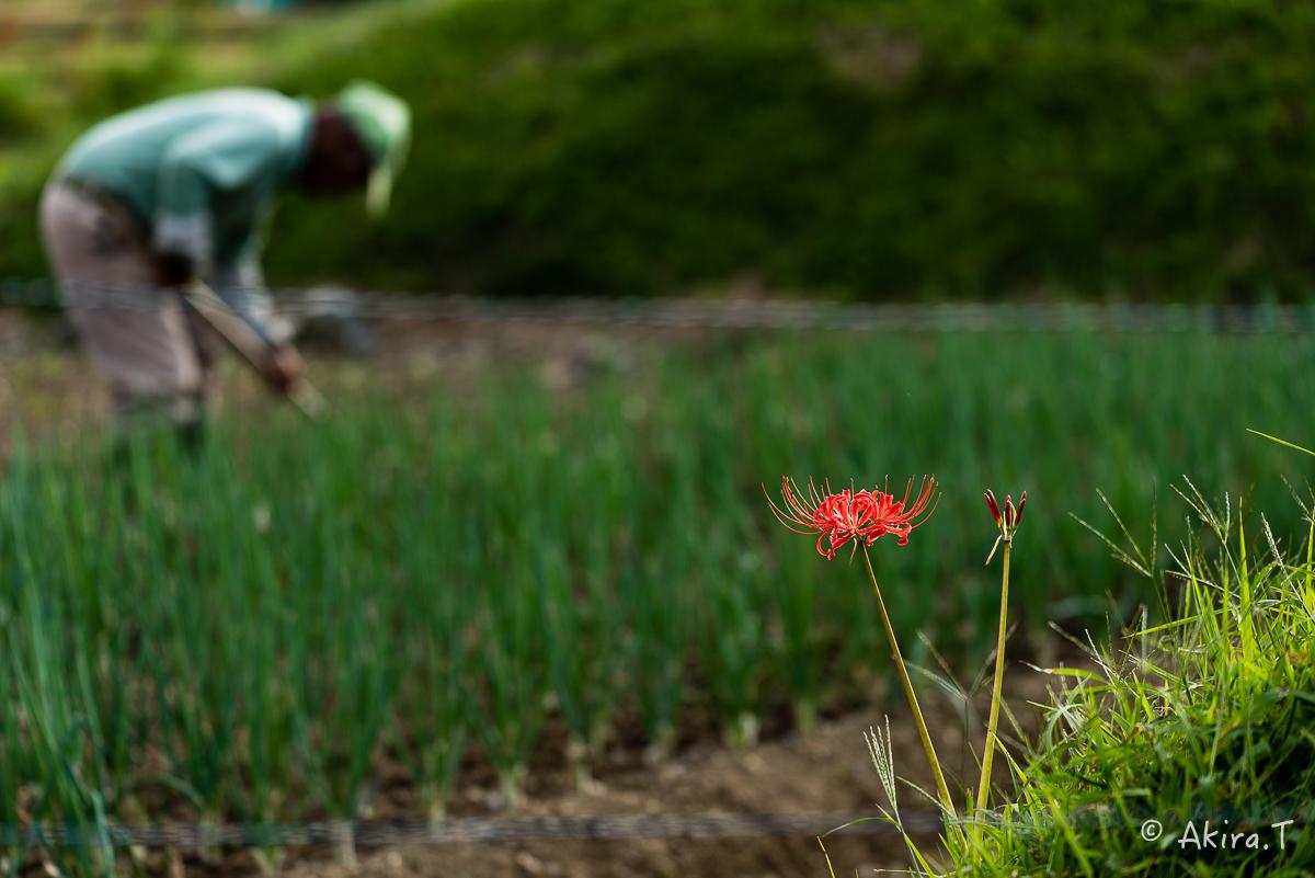 京都 嵯峨野の彼岸花 -1-_f0152550_2054289.jpg