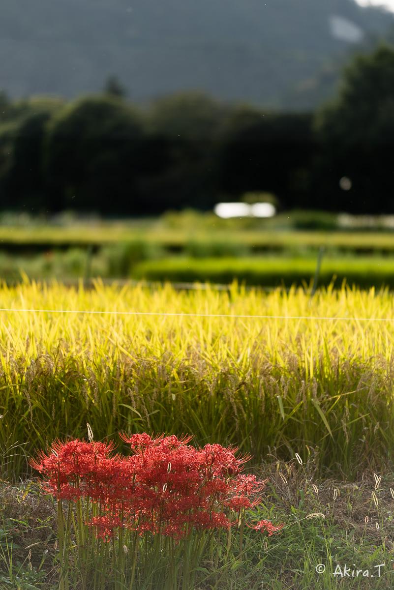 京都 嵯峨野の彼岸花 -1-_f0152550_20582479.jpg