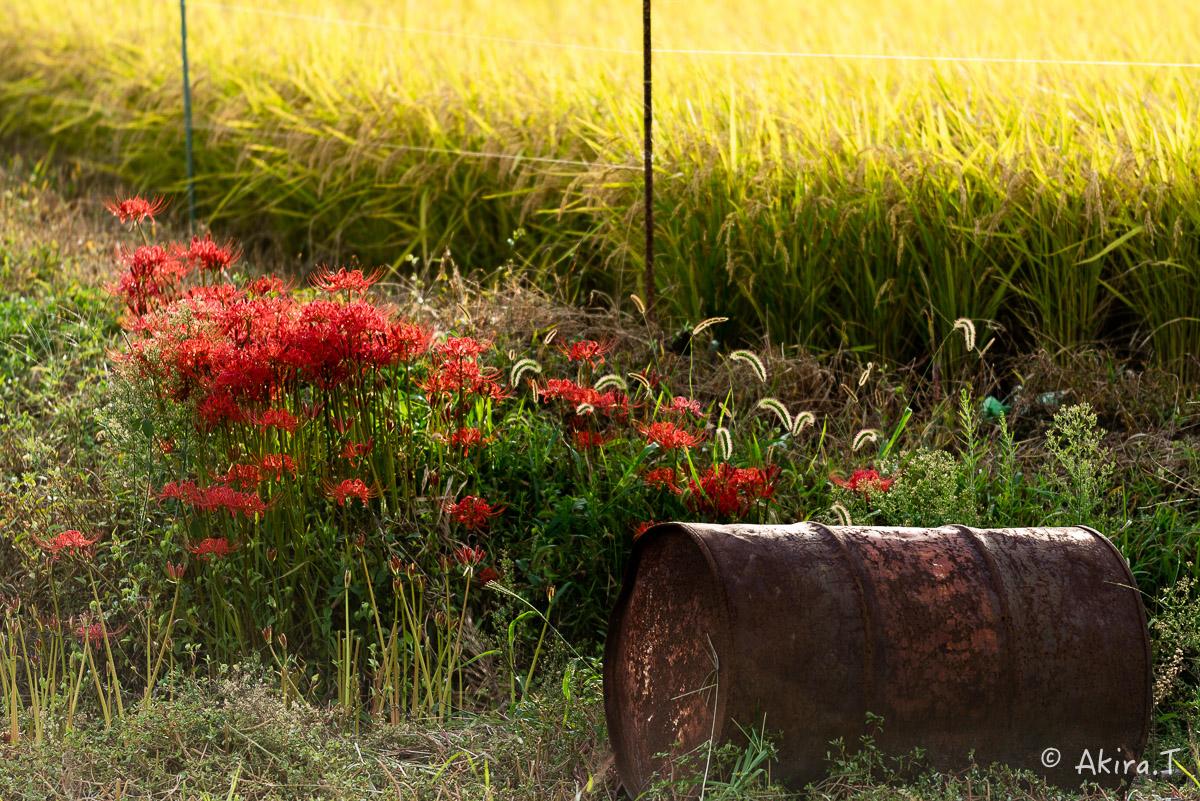 京都 嵯峨野の彼岸花 -1-_f0152550_210131.jpg