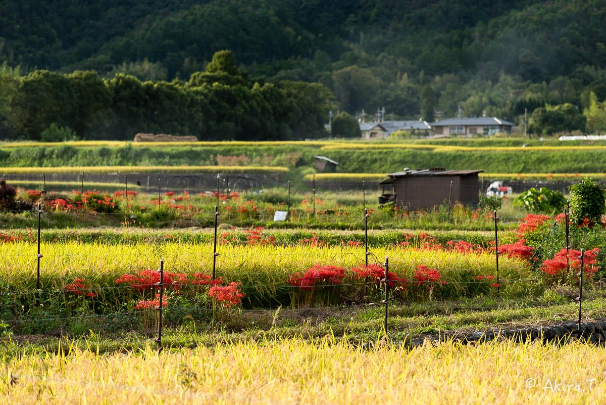 京都 嵯峨野の彼岸花 -1-_f0152550_2172579.jpg