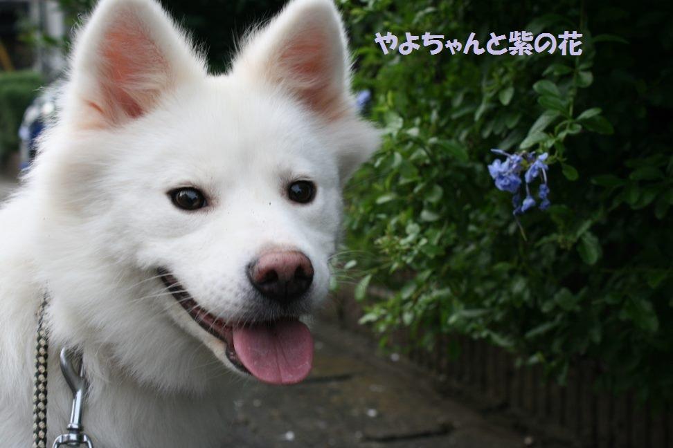 やよちゃんのお散歩_f0242002_13443330.jpg