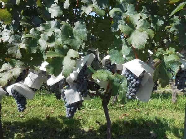 2日続けて収穫会。作業の後のワインは美味しい!_a0095931_1540454.jpg