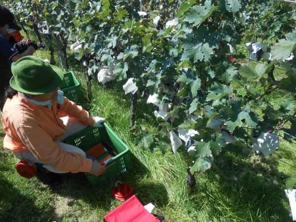 2日続けて収穫会。作業の後のワインは美味しい!_a0095931_15441542.jpg