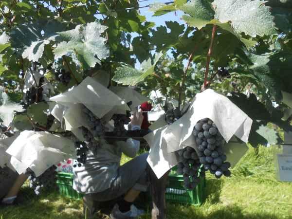 2日続けて収穫会。作業の後のワインは美味しい!_a0095931_15462513.jpg